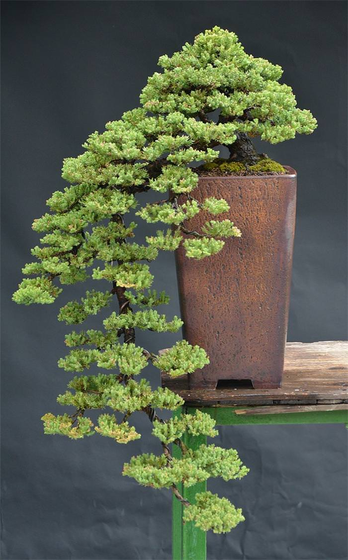 BONJOUR MES AMIS 22 Beautiful Bonsai Trees That Redefine The Name